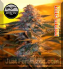 DinaFem Blue Widow Female 5 Marijuana Seeds